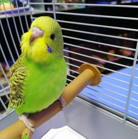 """Волнистый попугай в зоомагазинах """"Живой Уголок"""""""