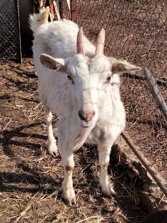 Продам породистую дойную козу.