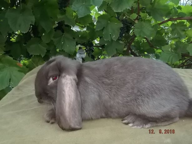 кролики французкий баран