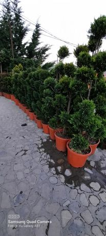 Plante ornamentale diferite dimensiuni