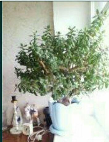 Дерево японское (денежное), большое растение