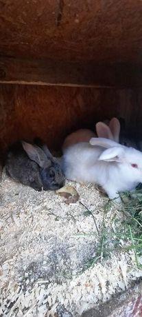 Vând iepuri rasa comuna