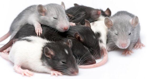 Продам крысят декоративных