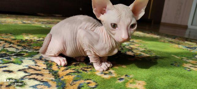 Продам котёнка донского сфинкса