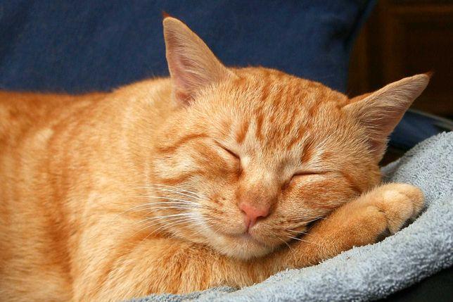отдам рыжую домашнюю кошку в добрые руки