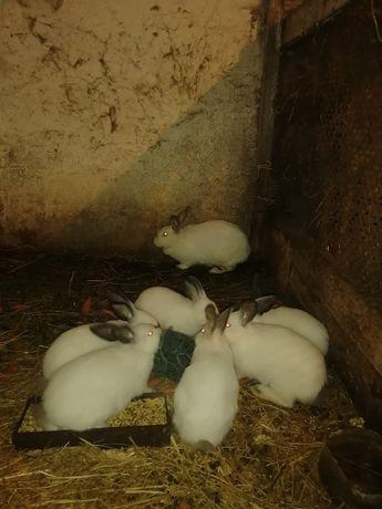 Колифорнийский кролик