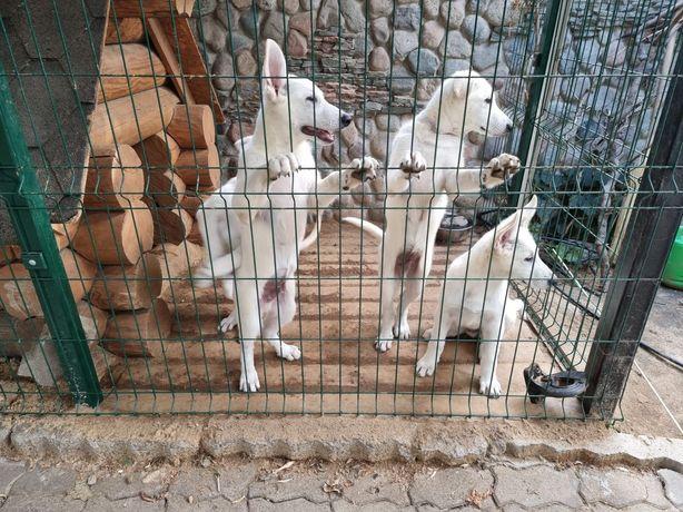 Продам щенков швейцарской овчарки