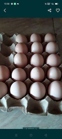 Инкубационое яйцо бройлер.