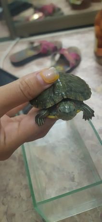 Продам черепаху Красное ухо