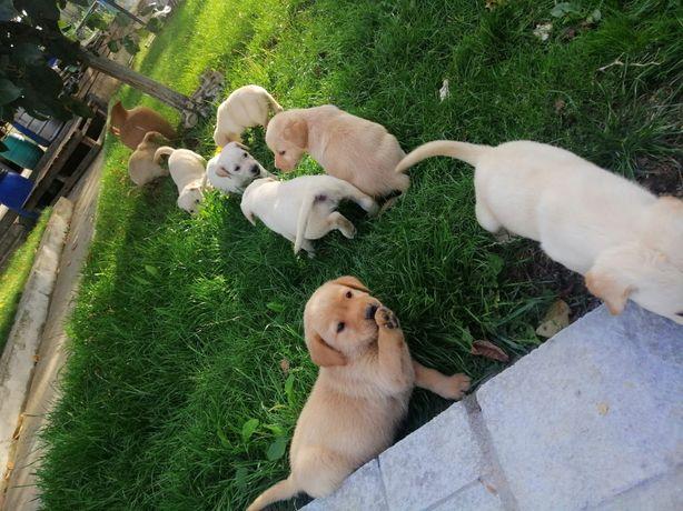 Labrador retriever alb auriu