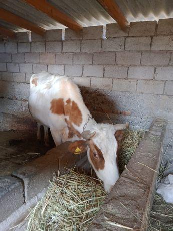 Корова  молочная  порода