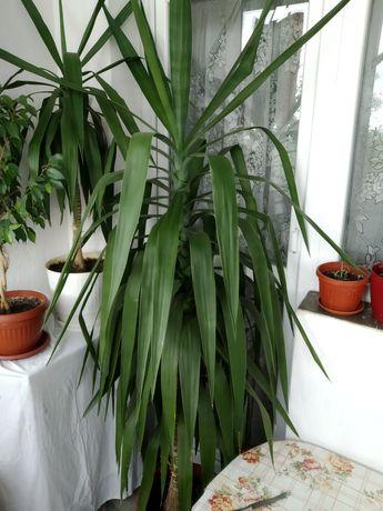 Юка палма в саксия