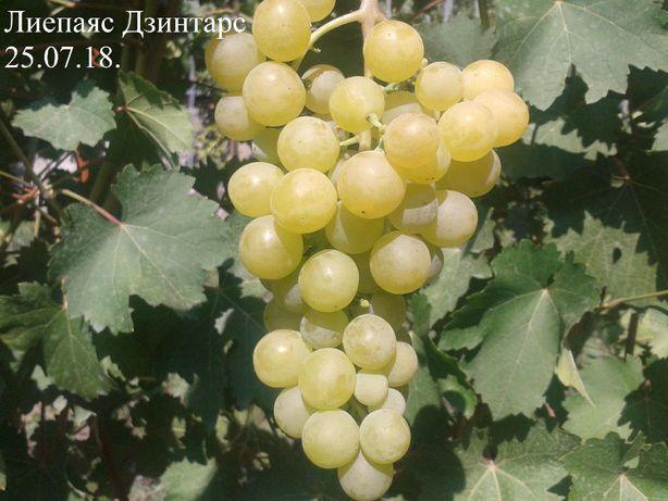 Виноград саженцы и черенки сорта Лиепаяс Дзинтарс