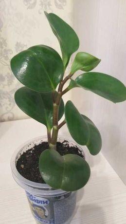 Комнатное растение - неприхотливое, красивое, очищает воздух дома!