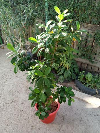 Комнатные растения (дерево)