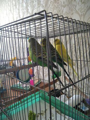 Срочно продам попугаев