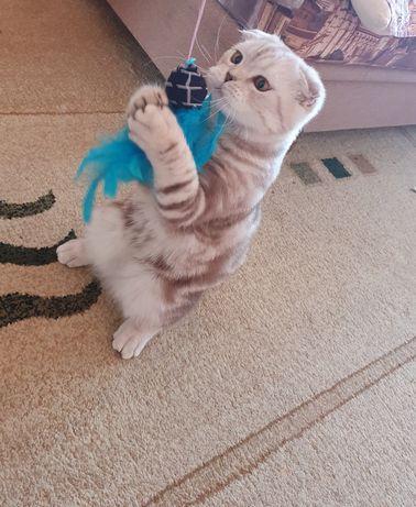 Кот для вязки породистый