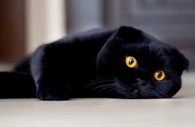 Вязка кот вислоухий черный