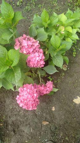 Саженцы гортензии розовые фиолетовые голубые
