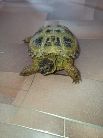 Продаётся сухопутная черепаха