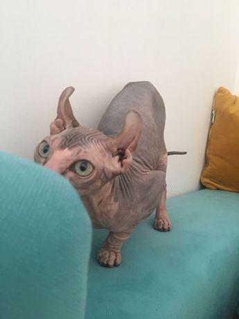 Sphinx Elf femela