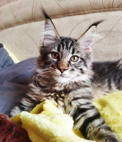 Котенок Мейн-кун с родословной.