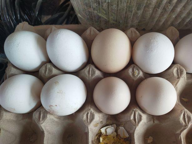 Яйцо куриное домашнее в районе бермуда 81квартал