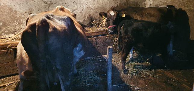 vând 2 vacii cu tot cu vitele