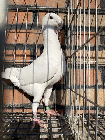 Porumbei voiajor german