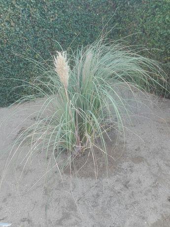 Панамска трева
