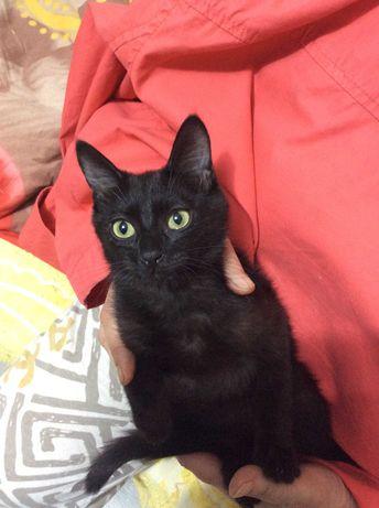 Котенок (кот) черный