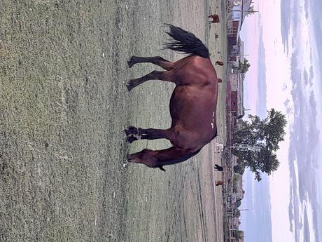 Породам лошадь 8 лет