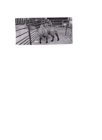 Vand 5 capete tineret ovin mascul pentru reproductie rasa suffolk
