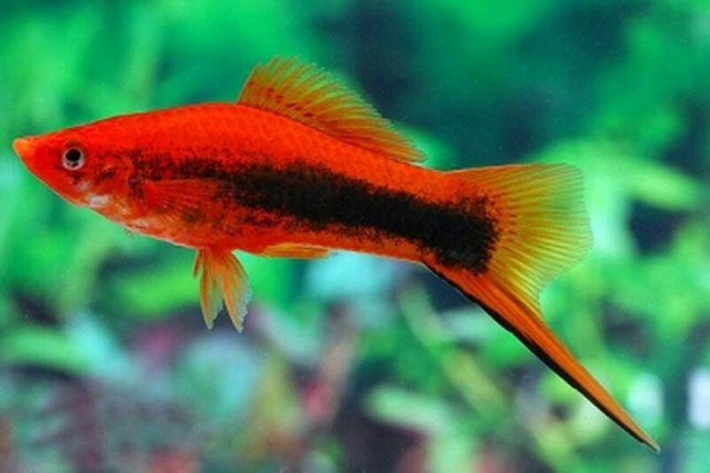 Аквариум рыбки продается разные Меченосецы черный Пецилия неон валифер