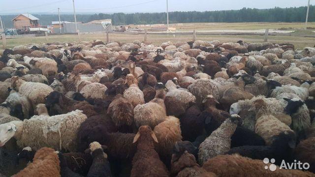 Продам баранов овце матаи