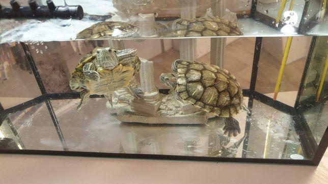 Продам морских черепах