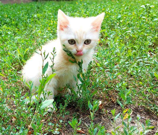 Бесплатно Шотландскй котенок с документам для вас