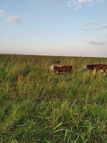 Продам корову белоголовую