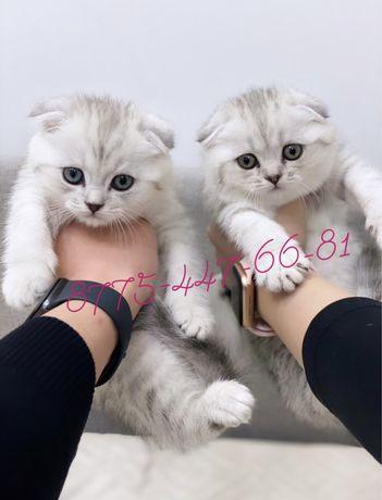 Роскошные шотландские котята Астана