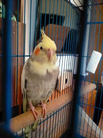 Продам попугая карелла. (Нимфа).