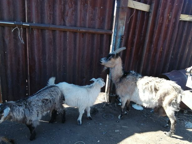 Доенная коза вместе с козлятоми