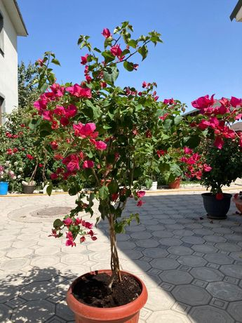 Продам цветок Бугенвиллия