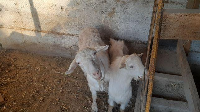 Коза и козлята. Ешки