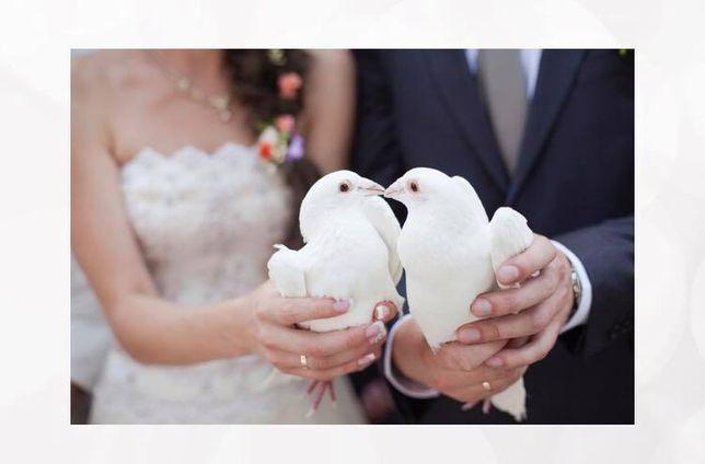 porumbei albi pentru evenimente in arad