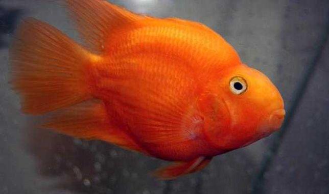 Рыба попугай цихлида