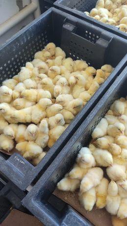 В продаже цыплята крос породы Арбор Айкрес. Суточные, привитые.