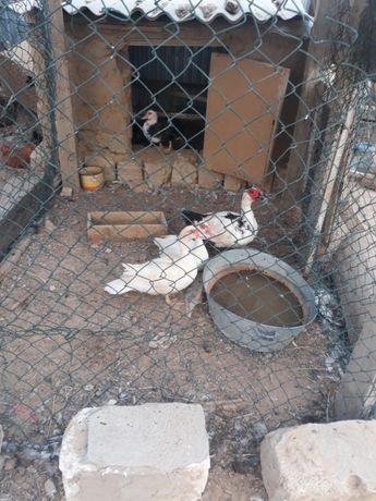 Индоутка тауык курица