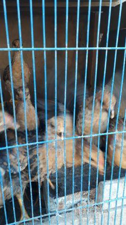Срочно продается Цыплята