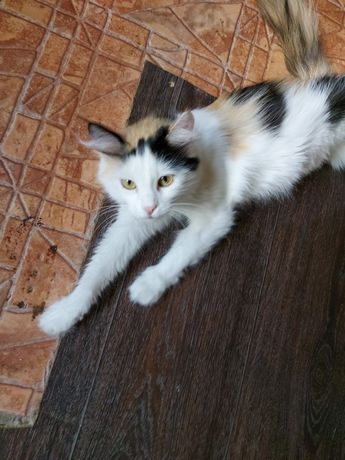 Кошечка Софи, стерелизованая, привита