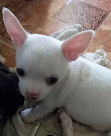 Бронь, щенок Чихуахуа , гладкошерстный